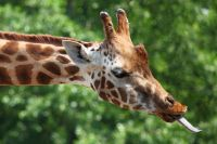 giraffe-tongue-11283424620vTdm_Petit